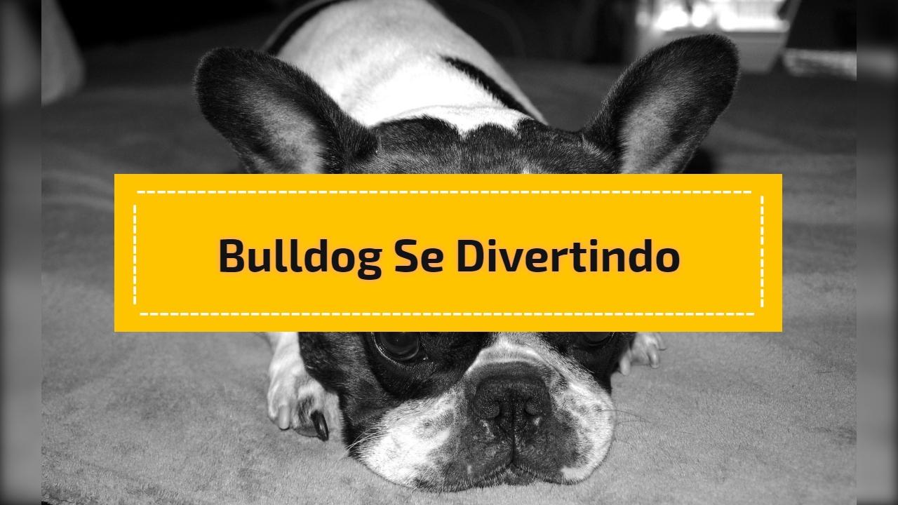 Bulldog se divertindo