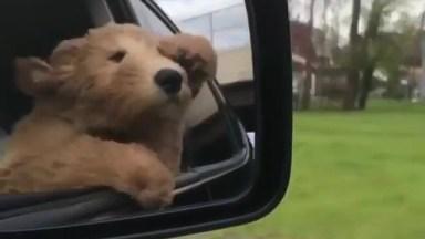 Cachorrinho Se Divertindo Com Vento Na Janela Do Carro, Olha Só A Alegria!