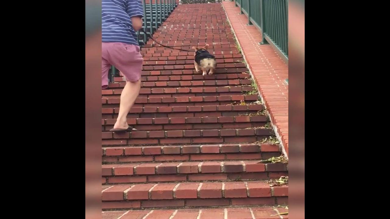 Cachorrinho subindo escada pulando