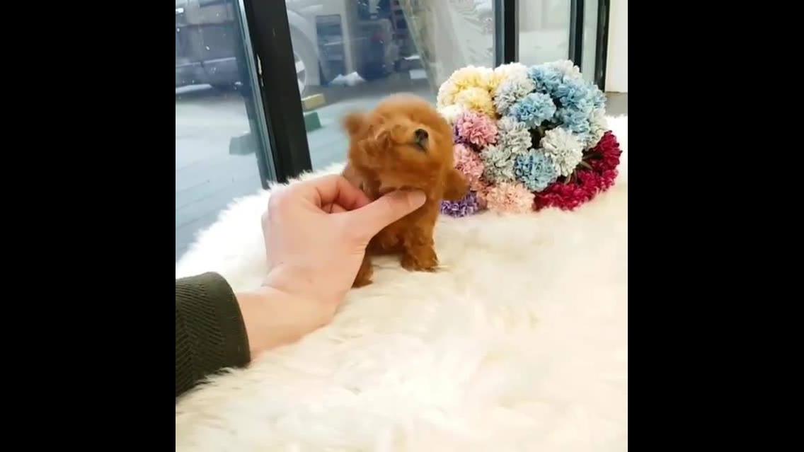 Cachorrinho super pequeno