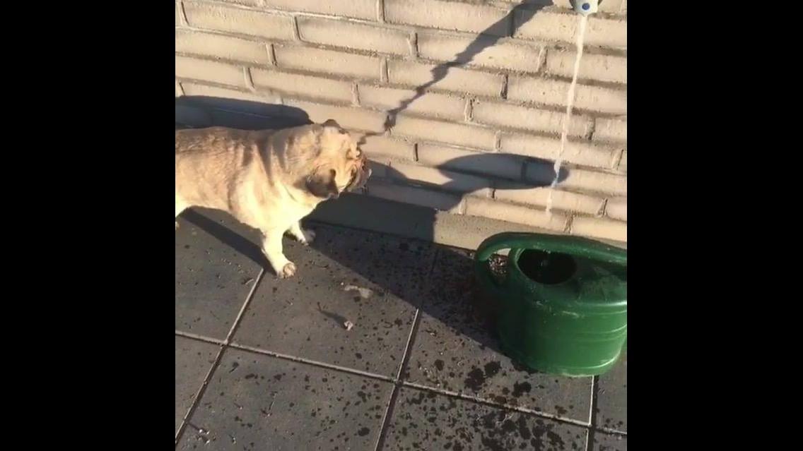 Cachorrinho tentando beber água na sombra da torneira