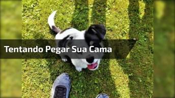 Cachorrinho Tentando Pegar Sua Cama De Volta Que O Gato Roubou, Kkk!