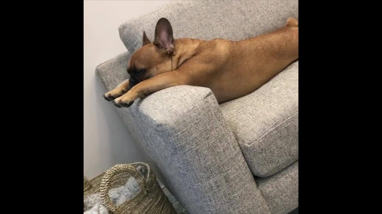 Cachorrinho tirando uma soneca no sofá
