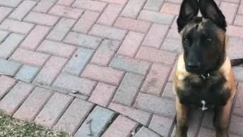 Cachorrinho Treinado Para Não Comer Carne, Que Equilíbrio Emocional Hahaha!