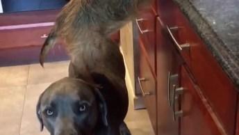Cachorrinho Usa Cachorro Mais Como Escada Para Comer Comida Na Pia!