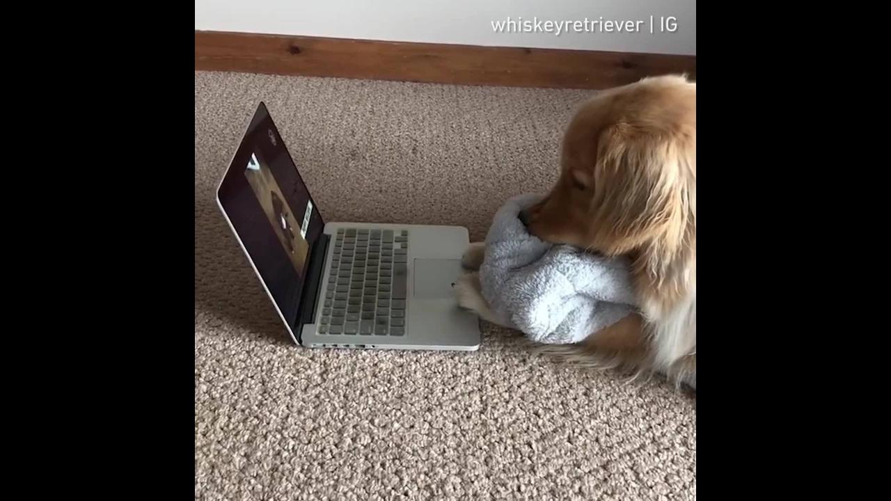 Cachorrinho vendo vídeos no computador de cachorrinhos