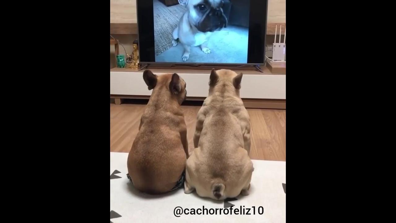 Cachorrinhos assistindo filminho