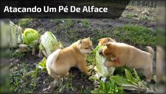 Cachorrinhos Atacando Um Pé De Alface, Cuidado As Cenas São Fortes!