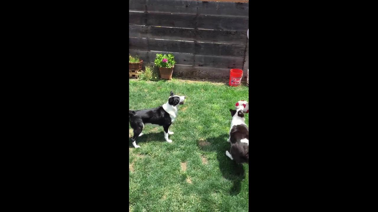 Cachorrinhos brincando de bola com a mamãe