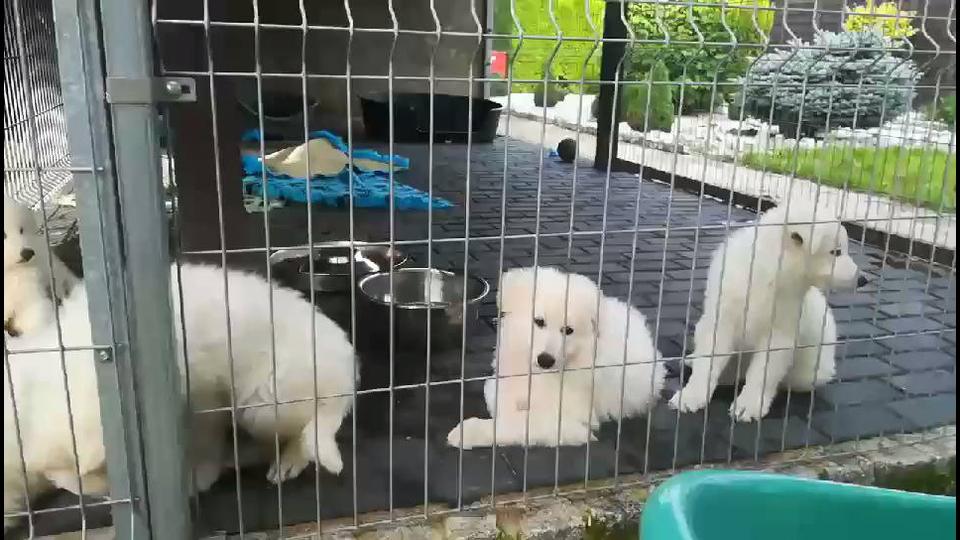Cachorrinhos de raça que são toda branca