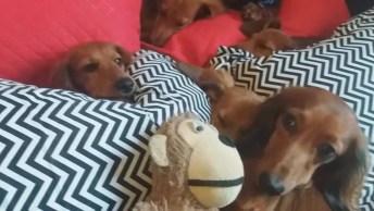 Cachorrinhos Deitados Na Cama De Sua Dona, Olha Só A Carinha Mais Fofa Deles!