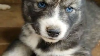 Cachorrinhos Fofinhos De Olhos Azuis, Eles São Lindos Demais!