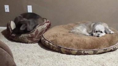 Cachorrinhos Que Adoram Dormir Na Caminha Se Seus Amiguinhos, Hahaha!