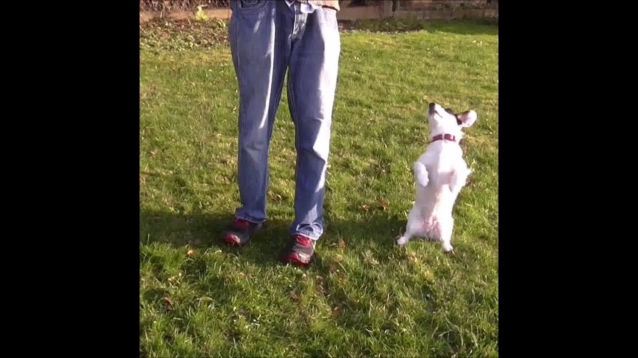 Cachorrinhos que respondem os comandos de seus donos perfeitamente