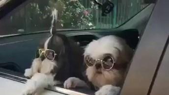 Cachorrinhos Shih Tzu Com Óculos Escuro E Roupa De Listras!