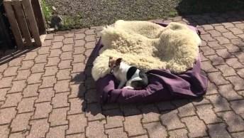 Cachorrinhos Tirando Um Cochilo No Sol, Olha Só A Preguiça Destes Amiguinhos!