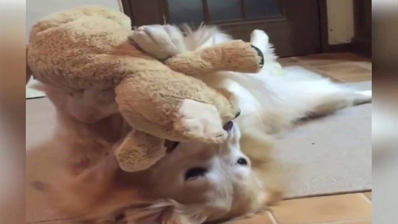 Cachorro adorando seu ursinho de pelúcia