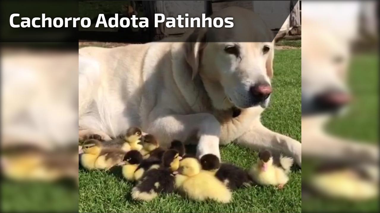 Cachorro adota patinhos