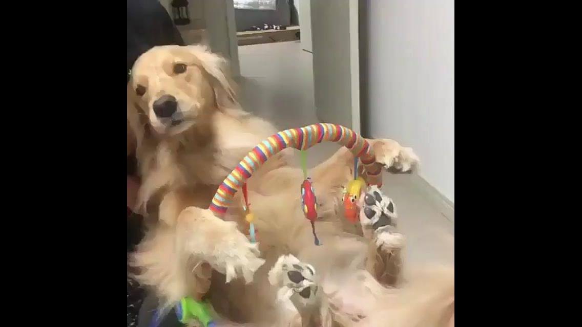 Cachorro adulto volta a ser bebê e senta na cadeirinha hahaha