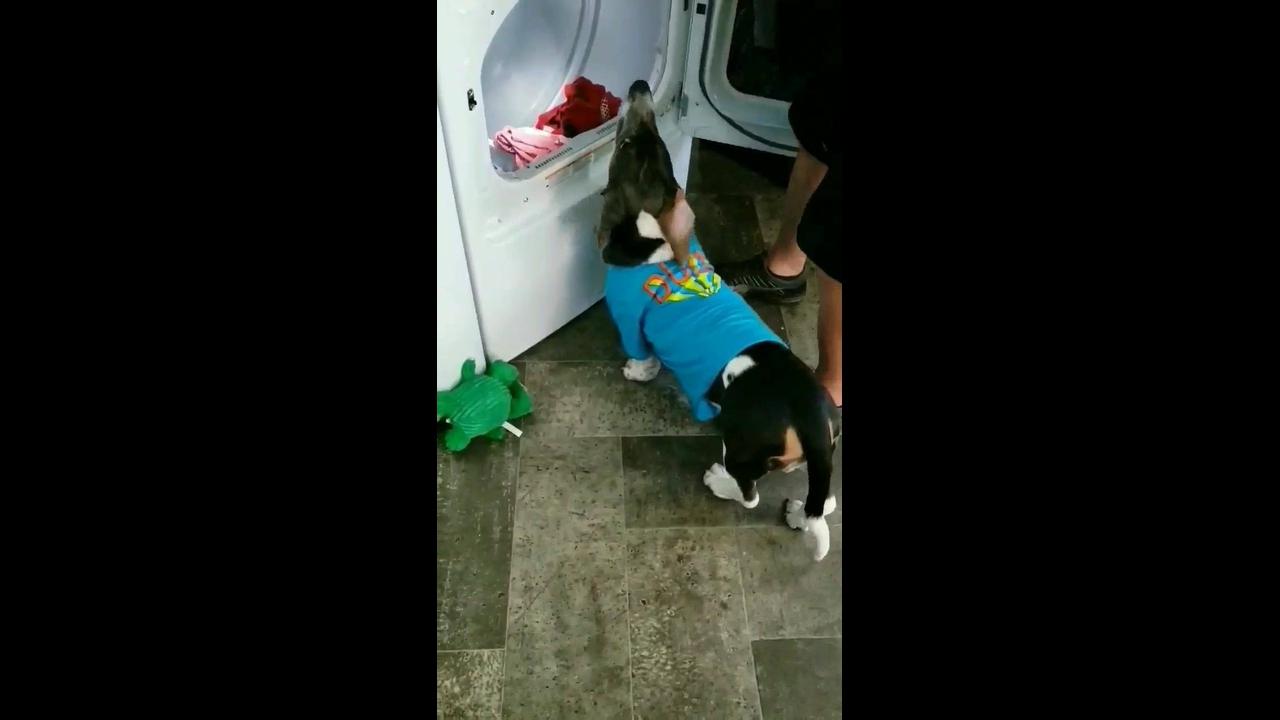 Cachorro ajudando a mamãe humana a tirar a roupa da máquina