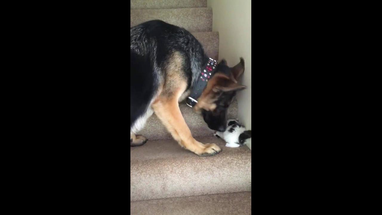 Cachorro ajudando gatinho a aprender subir escada