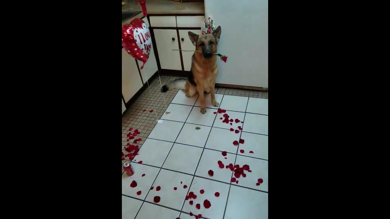 Cachorro ajudando na hora de fazer surpresa para namorado
