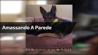 Cachorro Amassando A Parede De Casa, Como Ele Conseguiu Fazer Isso Hahaha!