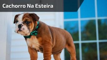 Cachorro Anda Com Muito Estilo Na Esteira, Olha Só Como Ele Se Diverte!