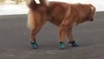 Cachorro Andando Com Sapatinhos, Parece Que Ele Não Gostou Muito, Hahaha!