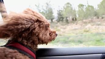 Cachorro Andando De Carro Com Pelos Ao Vento, Ele É Um Charme!