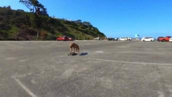 Cachorro Andando De Skate, Esse Ai Gosta Mesmo Desse Esporte!