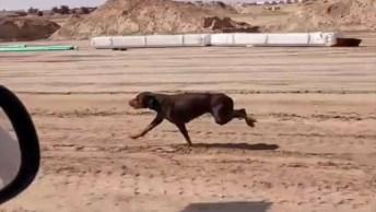 Cachorro Apostando Corrida Com Um Carro, Ele É Bem Rápido E Forte!