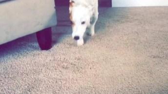 Cachorro Aprendendo A Andar Outra Vez Após Cirurgia Na Coluna!