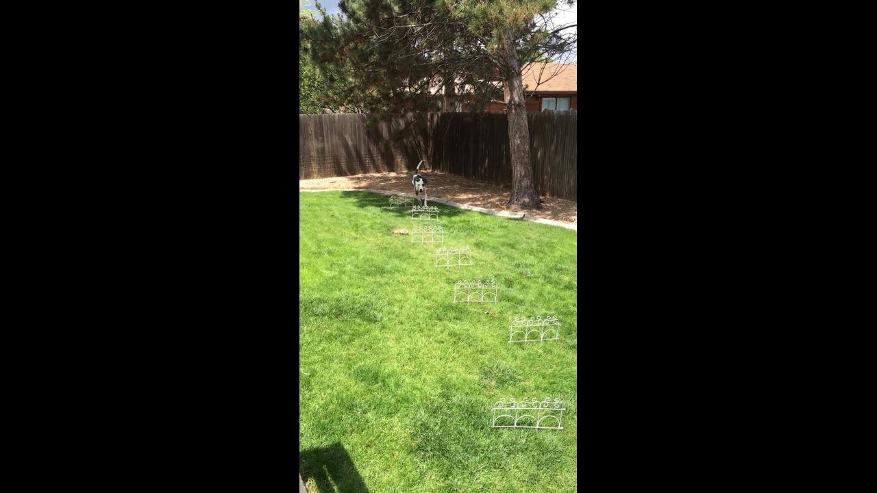 Cachorro aprendendo a caminhar por obstáculos