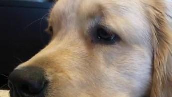 Cachorro Assistindo Televisão, Veja A Carinha Dele Pedindo Carinho!