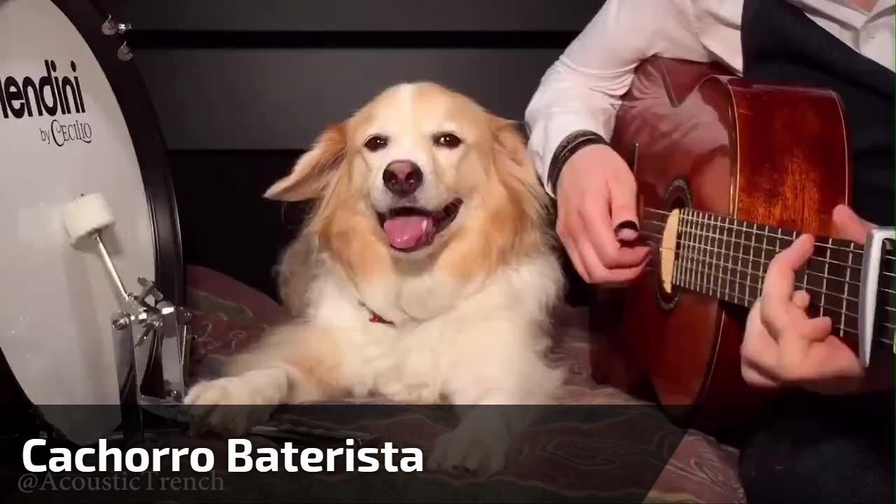 Cachorro baterista