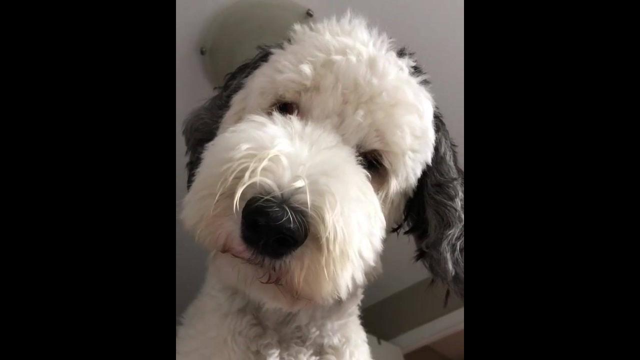 Cachorro branco com orelhas pretas que parede ser de mentira