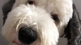 Cachorro Branco Com Orelhas Pretas Que Parede Ser De Mentira!