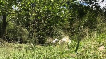 Cachorro Branco E Peludo Caminhando Como Se Estivesse Desfilando!