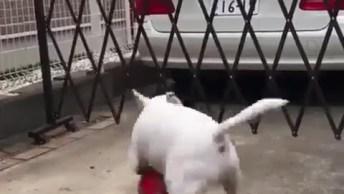 Cachorro Brincando Bola, Olha Só Alegria Dele Com A Bola, Muito Fofo!