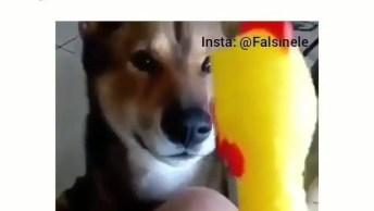 Cachorro Brincando Com Galinha De Brinquedo, Olha Só Esta Conversa, Hahaha!