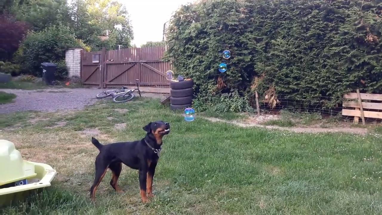 Cachorro brincando de morder bola de sabão