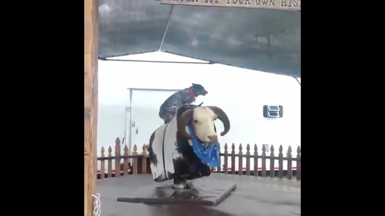 Cachorro brincando em touro mecânico