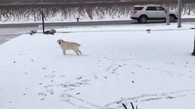 Cachorro Brincando Na Neve, Olha Só A Felicidade Deste Amiguinho!