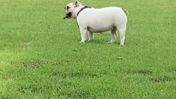 Cachorro Bulldog Correndo Atrás De Um Galho, Que Coisa Mais Fofa!