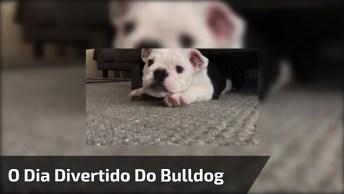 Cachorro Bulldog Pegando Uma Piscina, Comendo, Dormindo E Depois Tentando Caçar!