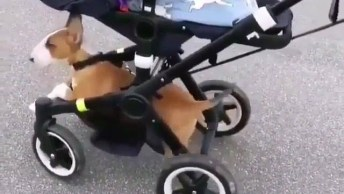 Cachorro Cansa De Passear Com A Mamãe E Pede Carona No Carrinho De Bebê!