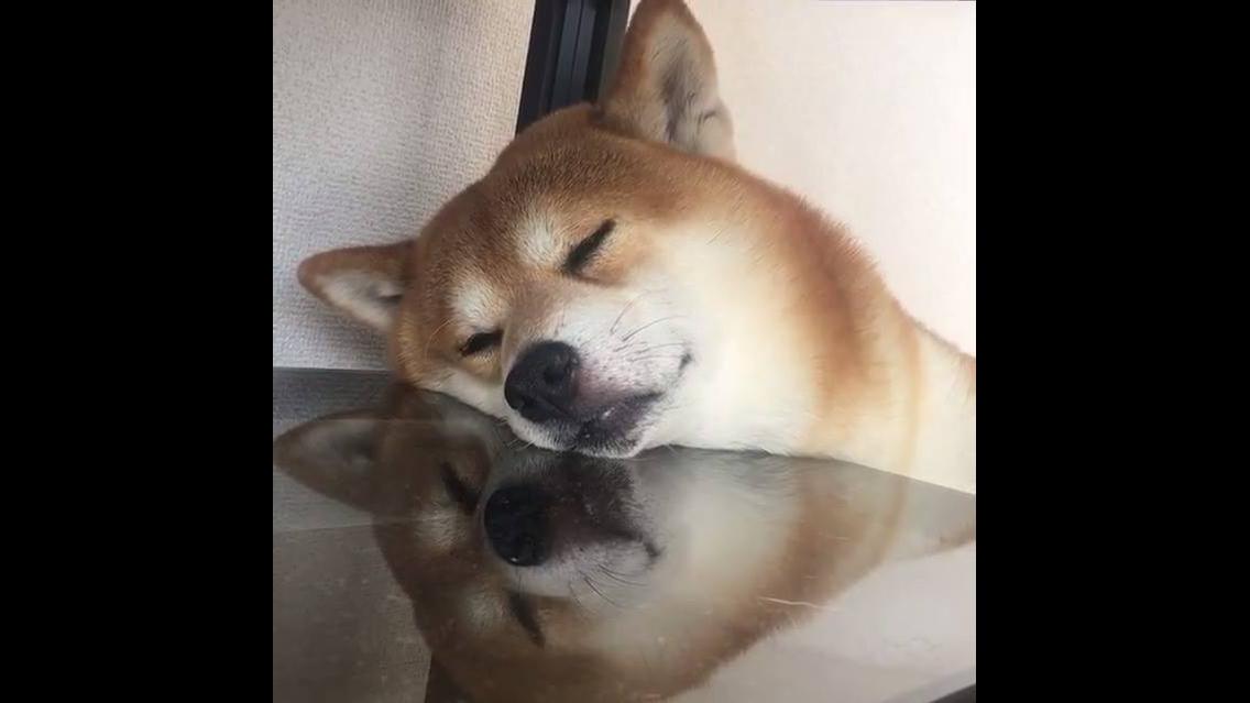 Cachorro cochilando em cima da mesa