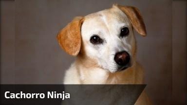 Cachorro Colocando Touca Ninja Sozinho, Esse Carinha É Fera, Kkk!