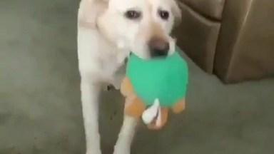 Cachorro Com Brinquedo Na Boca E Implorando Para Alguém Brincar Com Ele Hahaha!